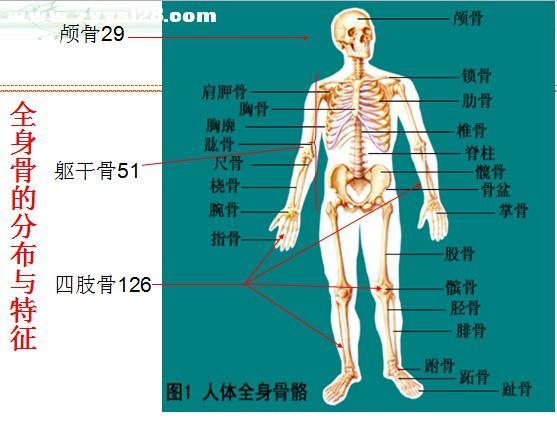 一个月学针灸的第一课:人体解剖学